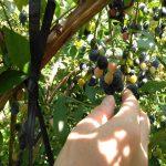 ブルーベリーの摘み取り風景